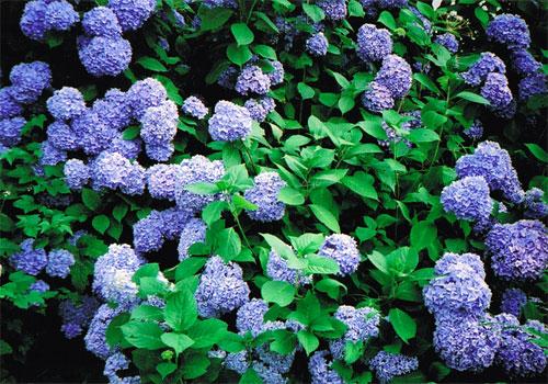 紫陽花の群生