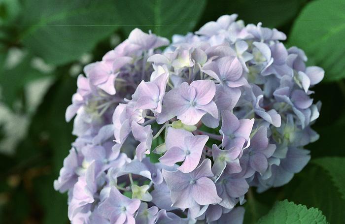瑕と紫陽花