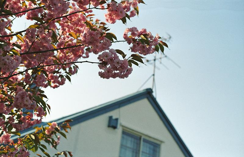 じいちゃんの桜